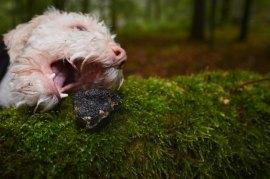 Ausbildung zum Trüffelsuchhund